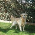 golden-retriever-amico-dell'uomo-